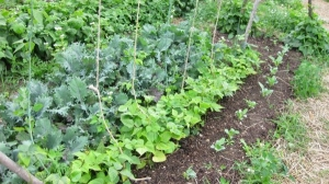 kale at Bare Knuckle Farm