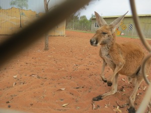 One of our stops was at a camel farm. They also kept kangaroos and emus.