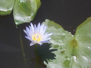 Pond of purple flowers
