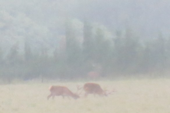 Rainy shot of grazing deer