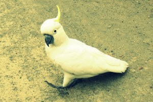 Cockatoo strut