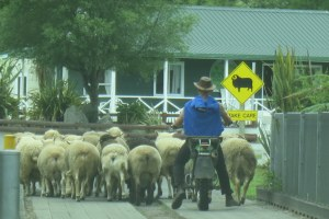 Bringing the sheep in for the show