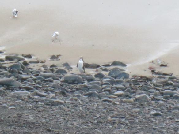 Yellow-eyed penguins coming in for the night