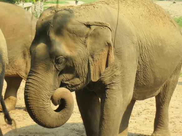 We chopped that food the elephant is enjoying