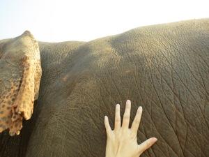 enp my hand, dwarfed by elephant