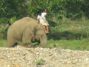 Hope's mahout sliding off his shoulders (it doesn't hurt the elephant to be ridden there, just on the back)