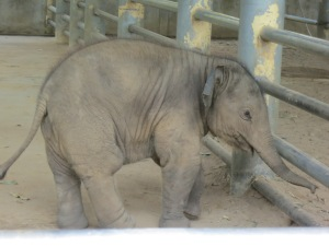Navaan, the youngest elephant of the park--until a few weeks ago, when a new baby was born!