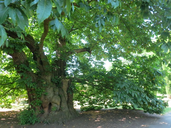 The oldest tree in Kew, planted in the early 18th century. It's a sweet chestnut--that one I did find out!