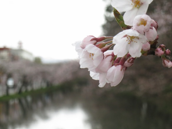 My last day in Hirosaki--more blossoms