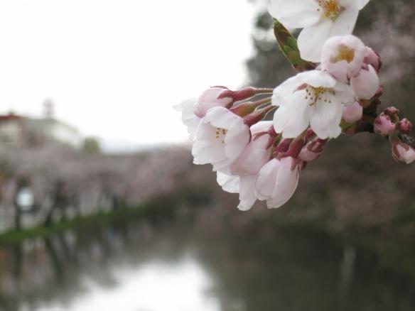 My last day in Hirosaki--more blossoms