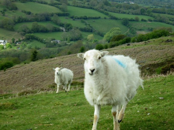 Also, a Welsh sheep
