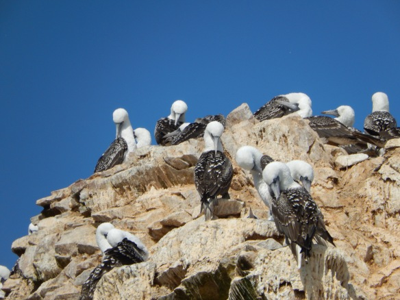 Peruvian boobies, Ballestas Islands, Peru; April 7, 2014