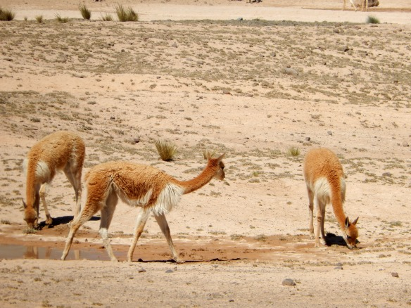 Vicunas grazing on the reserve