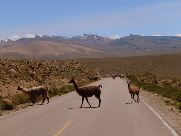 Llama crossing