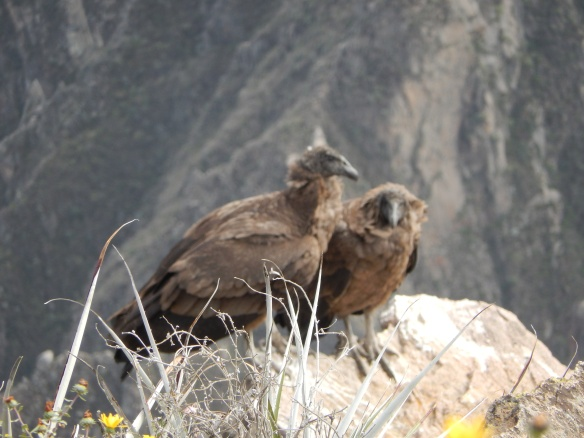 Young condors--one of them stayed huddled on that rock the whole hour I was there