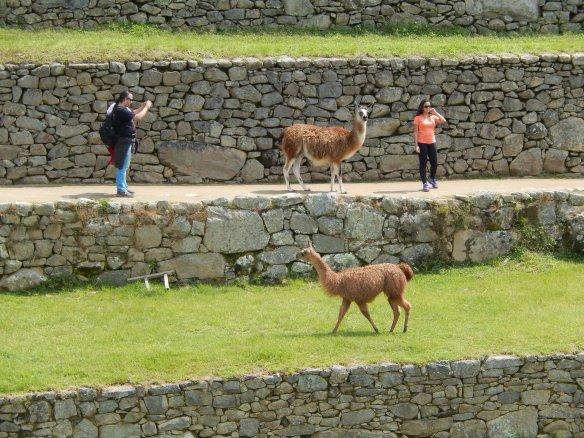 Llamas have right of way