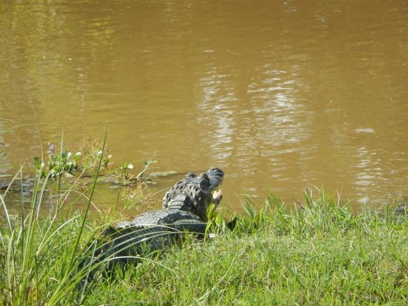 A sunbathing caiman