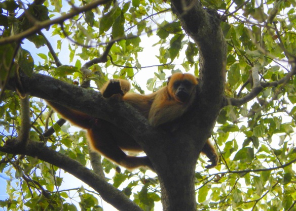 Female howler monkey, just hanging out