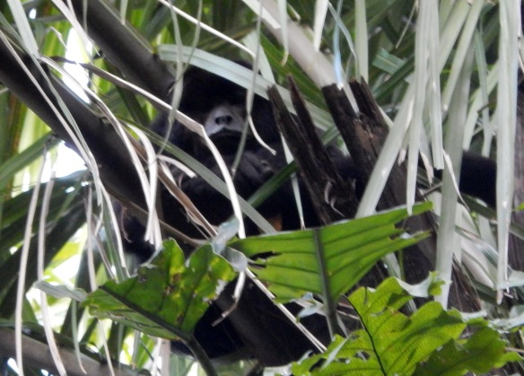 The male howler monkeys were harder to see, but very easy to hear