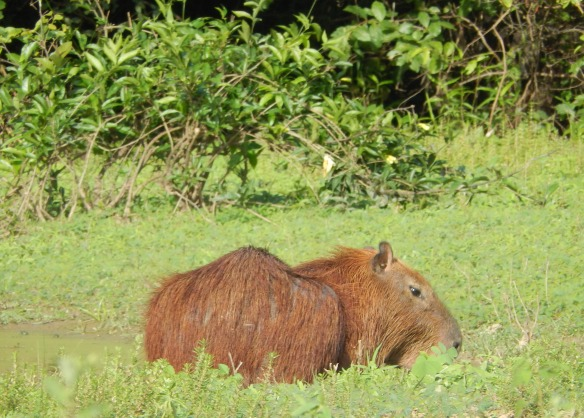 Capybara, the largest rodent in South America