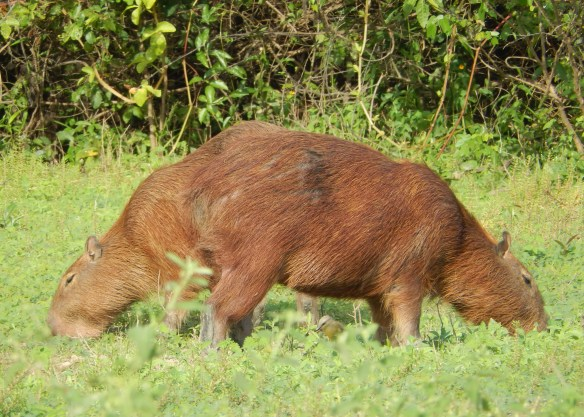 A pushme-pullyu! (Or two capybaras grazing near each other)