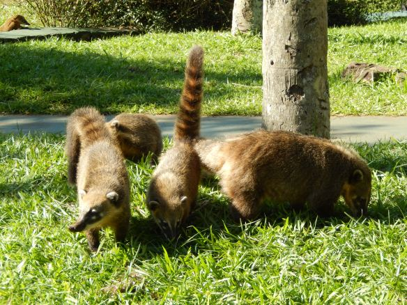 And their indignant raccoon-like tails
