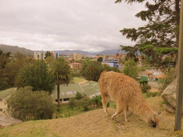 Llama city grazing, naturally
