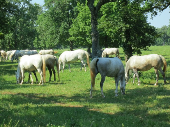 The famous white horses of Lipica