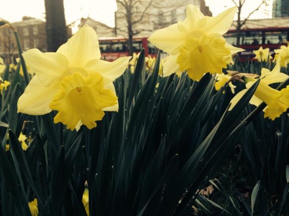 Daffodils near my flat in London