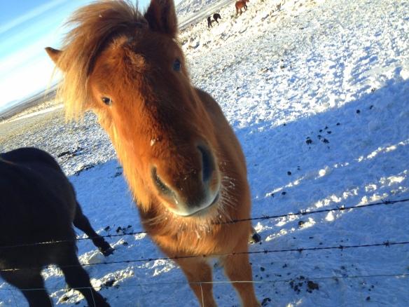 horse iceland witww