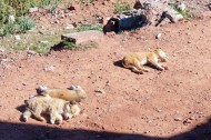 Sunbathing puppies