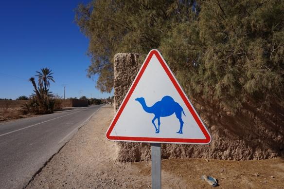 camel trekking sahara morocco
